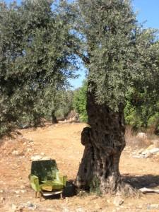 ivb-olive-harvest-iwps