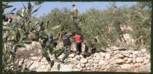 Olivenernte Zaytoun